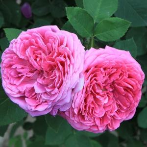 damask_rose