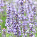 lavender-vertical